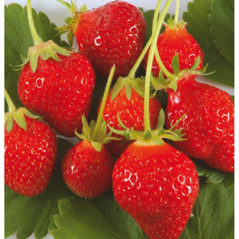 20 plants Fraisier Cirafine bio