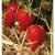 20 plants Fraisier Cijosée bio