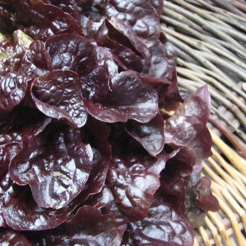 Laitue à Couper Red Salad Bowl bio 1g