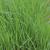 Ray-Grass Italien bio