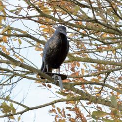 Epouvantail Corbeau