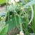 Haricot mangetout contender bio 50 g
