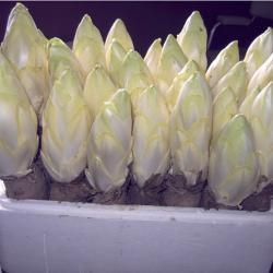 Chicorée Witloof - 25 racines prêtes à planter
