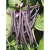 Haricot mangetout purple queen bio 50 g