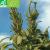 Amarante Green Giant bio 0,50g