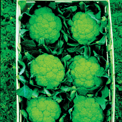 Chou-fleur Trevi F1 20 graines