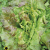 Laitue batavia rouge grenobloise bio 1g