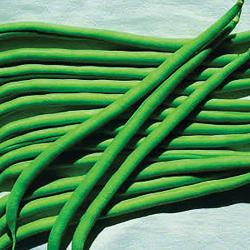 Haricot à rames Vesperal bio 40 graines