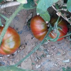 Tomate Ananas Noir bio 0,15g