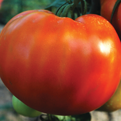 Tomate Joie de la Table bio 0,15g