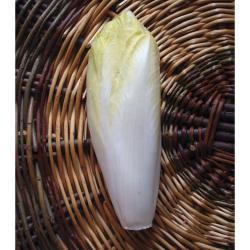 Chicorée endive Hollandse Middelvroeg bio 2g