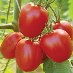 Tomate Quadro bio 0,10g