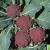 Chou-Fleur Di Sicilia Violetto 0,50g