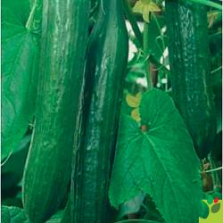 Concombre Femspot F1 10 graines