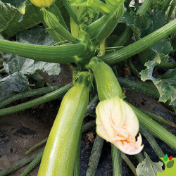 Courgette Majestee F1 10 graines