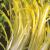 Chicorée sauvage vert Barbe de Capucin 6g