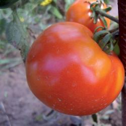 Tomate Pyros F1 0,1g