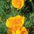Pavot de Californie - Eschscholtzia bio 1g