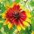 Rudbeckia à Oeil Vert bio 0,5g