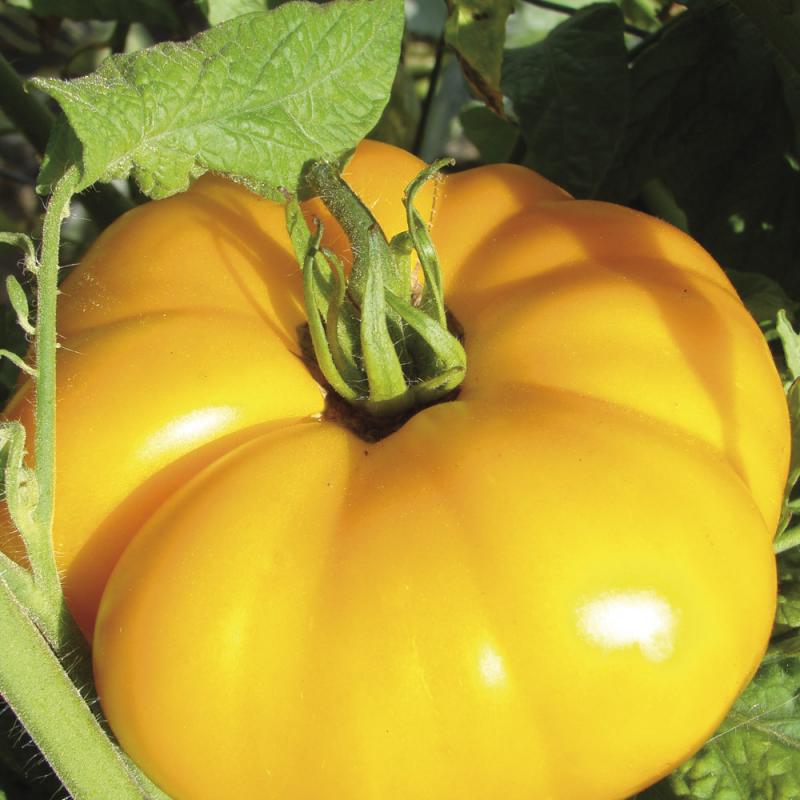 Tomate BrandywineYellow bio 0,25g