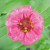 Zinnia à Petites Fleurs bio 0,5g