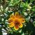 Zinnia Mexicain Tapis Persan bio 0,5g