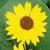 Tournesol soleil double bio 1g