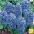 Jacinthe Delft Blue - x5