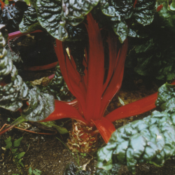 Poirée Rhubarb Chard bio 3g