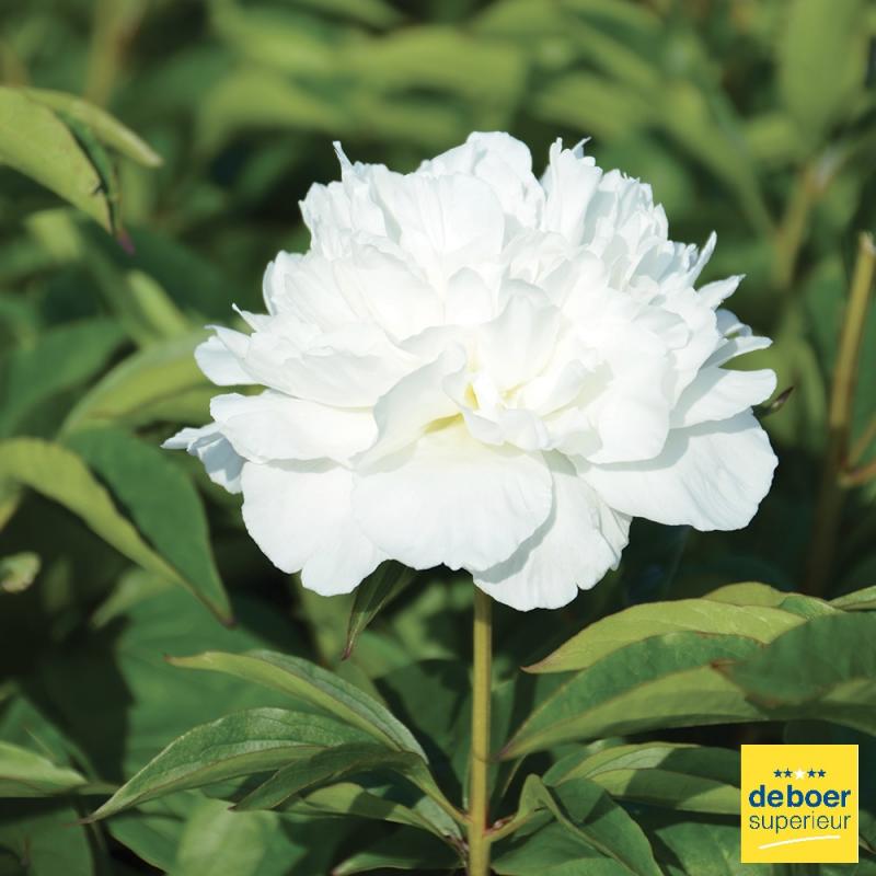 Paeonia - Pivoine Blanche - 2/3 yeux