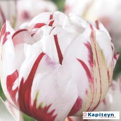 Tulipe double Carnaval de Nice - x8