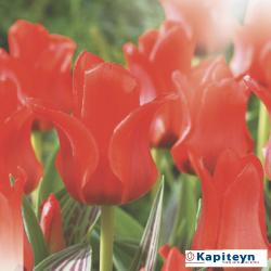 Tulipe Greigi Chaperon Rouge - x10