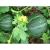 Melon Noir des Carmes bio 0,5g