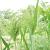 Millet Décoratif bio 2g