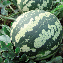 Pastèque Melon à Confire allongée à chair verte bio 1g