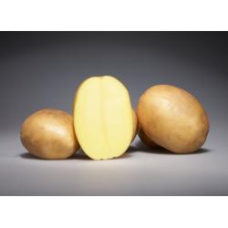 Plants de Pommes de Terre - Osiris