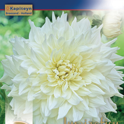 "Dahlia Décoratif ""White Perfection"""