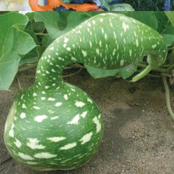 Courge Ornementale Cobra