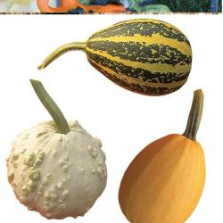 Courge Ornementale Melange à Petits fruits Variés
