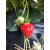 20 plants Fraisier Rubis des Jardins