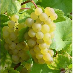Vigne Chasselas doré de Fontainebleau, pot d'1,6L