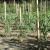 25 Tuteurs Acacia - 1,80m