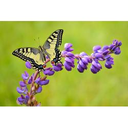 mélange fleurs pour papillons