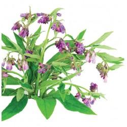 Plant de Consoude