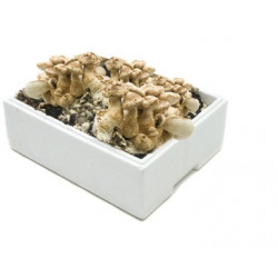 Kit de culture Champignons Shiitake