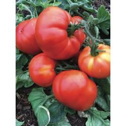 Tomate Beefsteak bio 0,17g