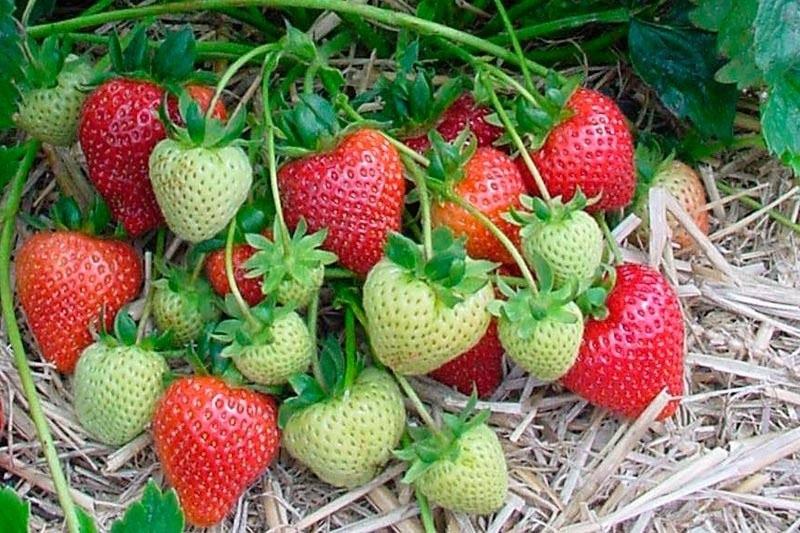 Cultiver des plants de fraises 1/2