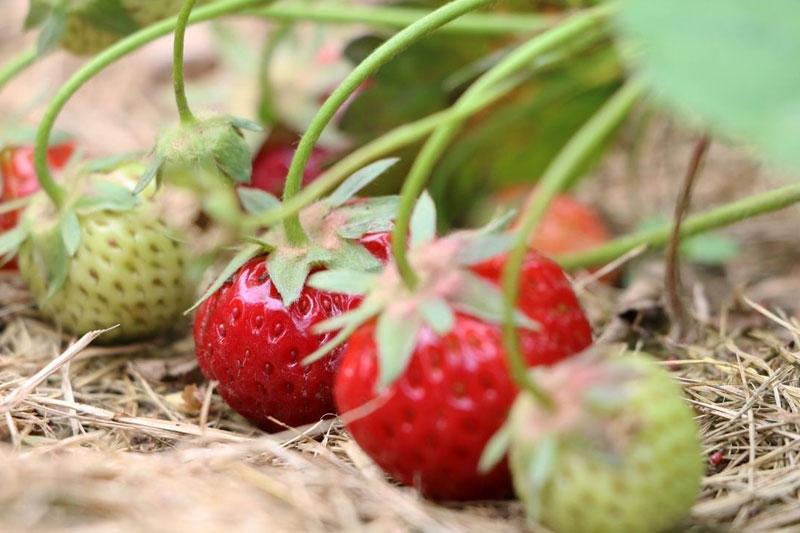 Cultiver des plants de fraises 2/2