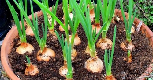 Cultiver les oignons