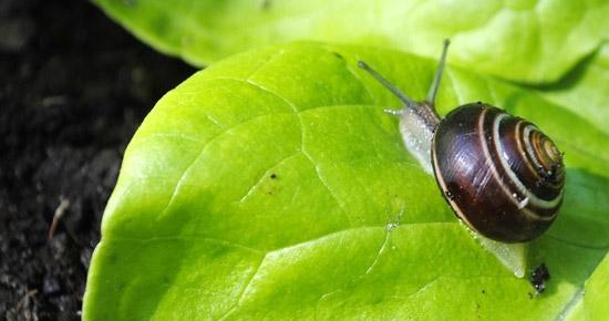 Comment lutter de façon écologique contre les limaces et escargots ?
